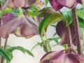 Winterse Helleborus Hybriden