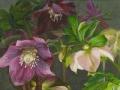 Nachtelijke Helleborus Hybriden