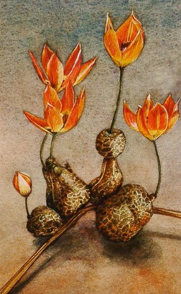 Tulpen aardappel
