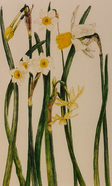 Botanische narcissen
