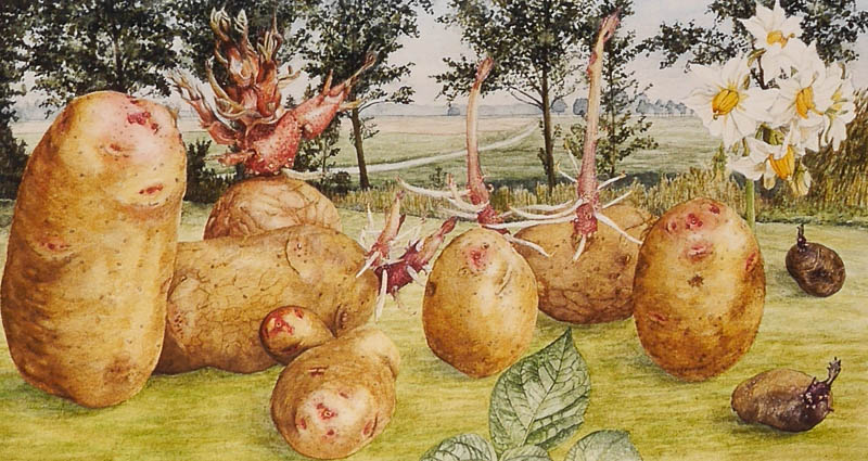 Aardappel Divina
