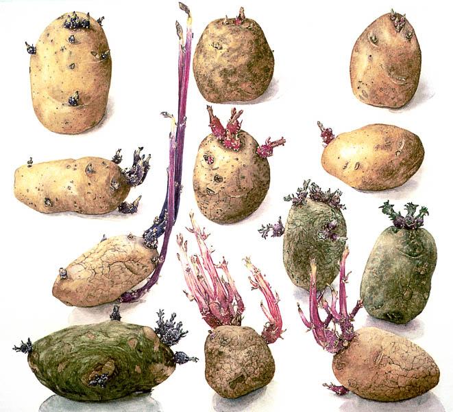 Aardappel: Denise, Florissant, Daniëlle