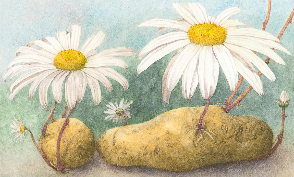 Margriet aardappel