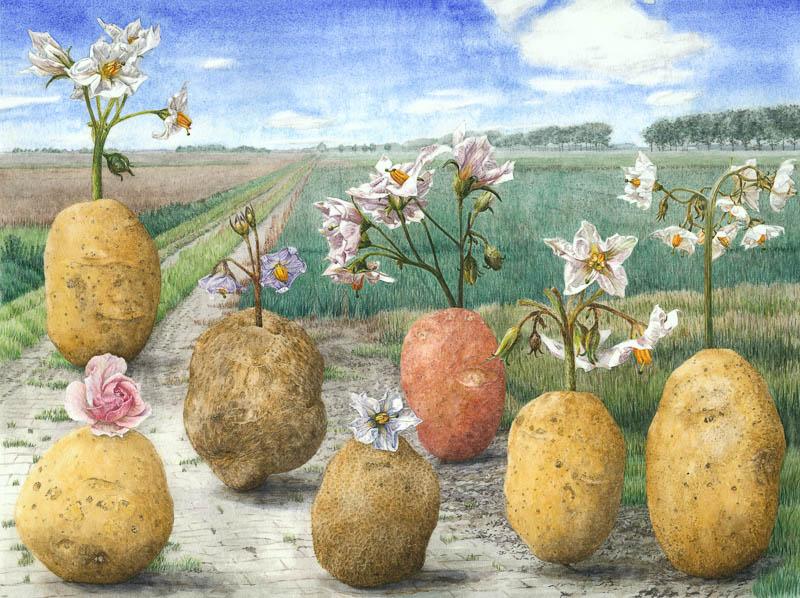 Aardappelrassen van Boerhave