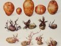 Aardappel Redstar