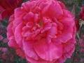 Roos Mullard Jubilee, van voren