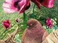 Papaver duifje