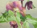 Voorjaars Helleborus Hybride