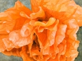Papaver Indian Chief