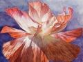 Papaver Rhoeas, wit rood-wit in de zon