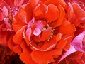 Roos: Orange Fire