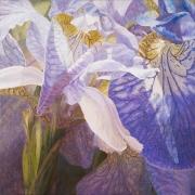 Lichte Irissen